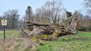 Naturdenkmal Fouqué-Eiche